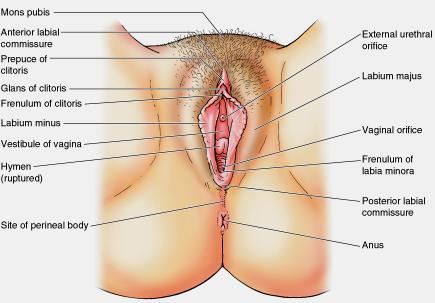 female-reproductive-organs 3